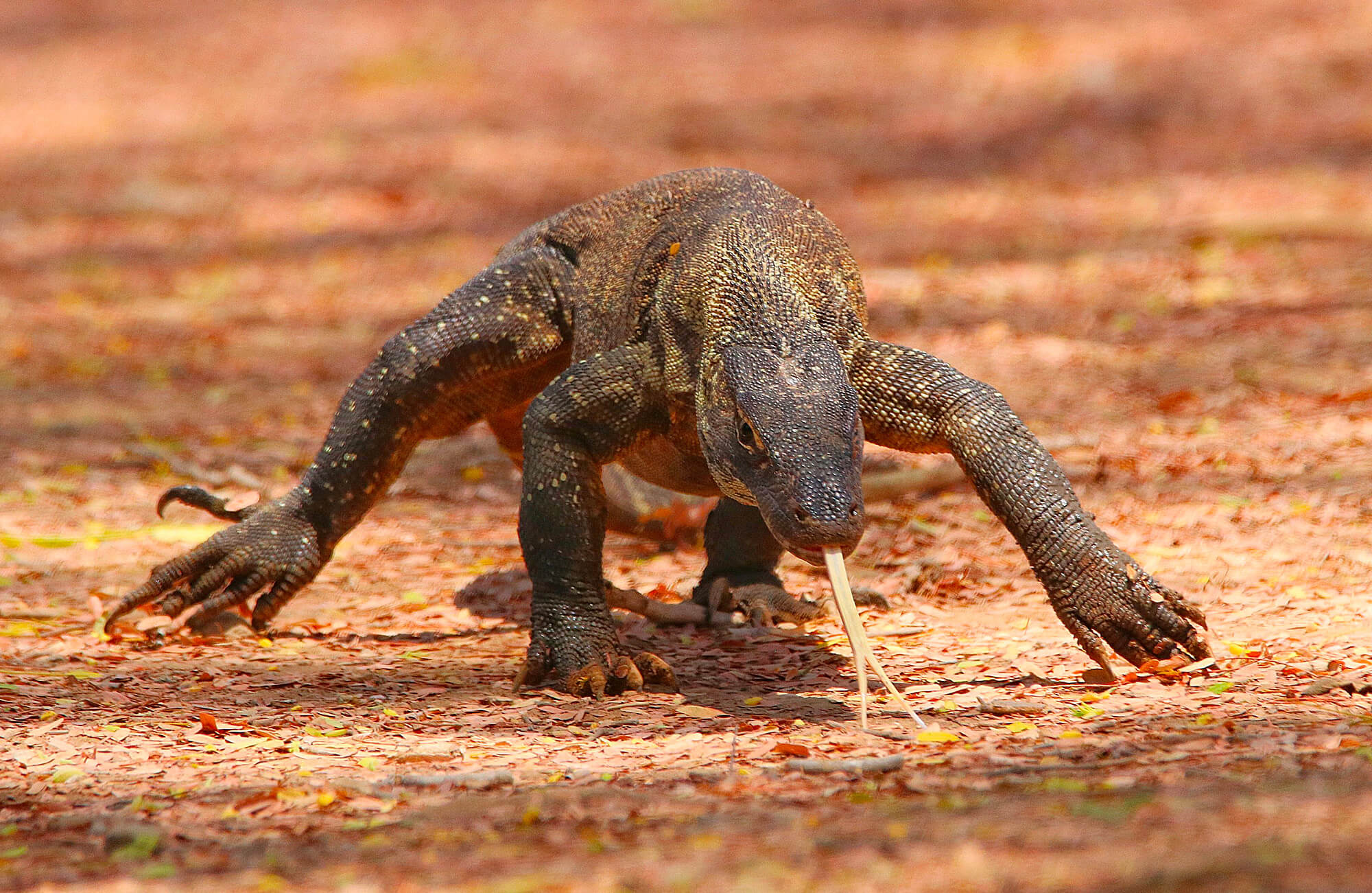 Komodo Dragon | Bali & The Lesser Sundas