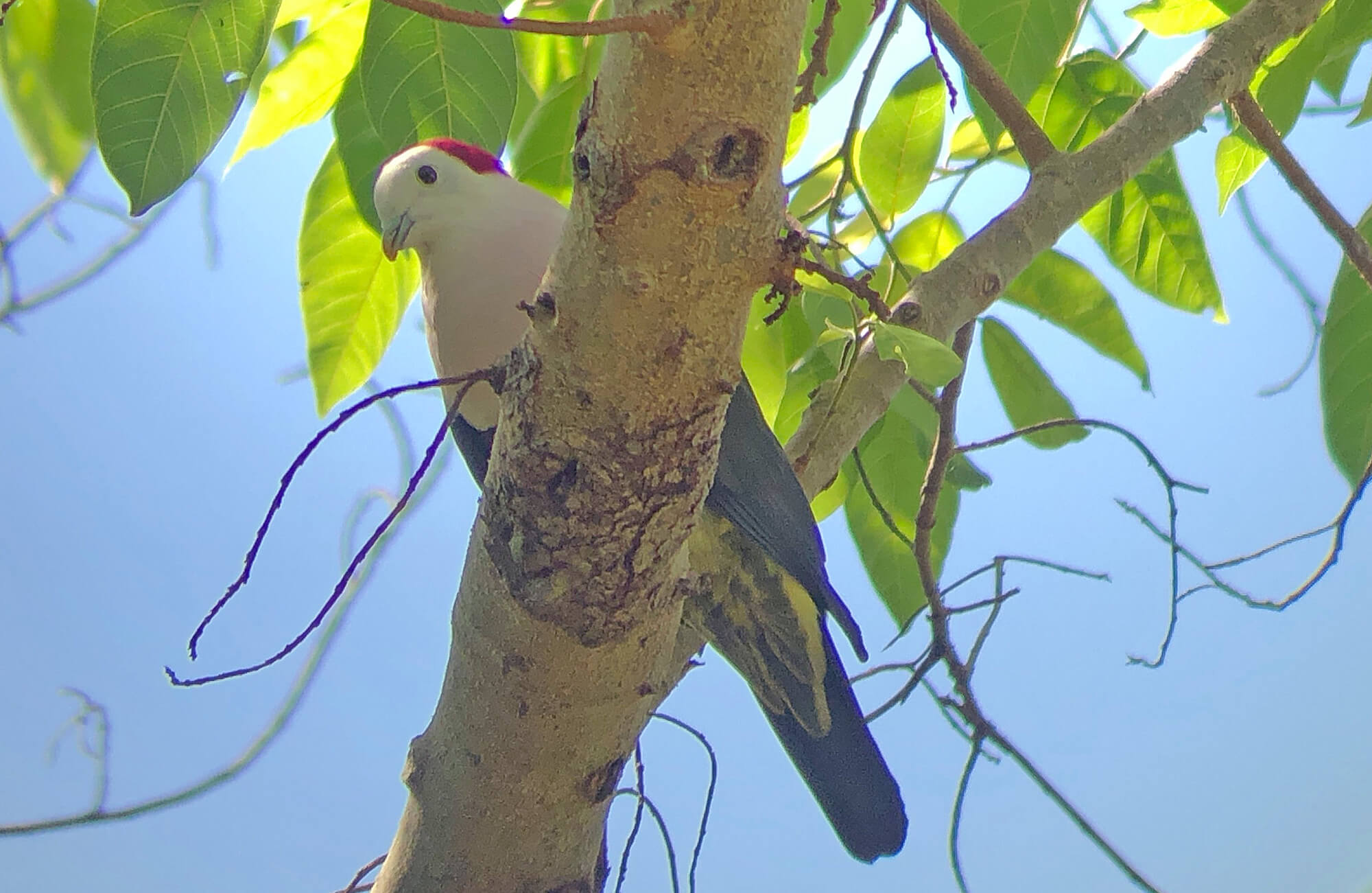 Red-naped Fruit-Dove | Bali & The Lesser Sundas