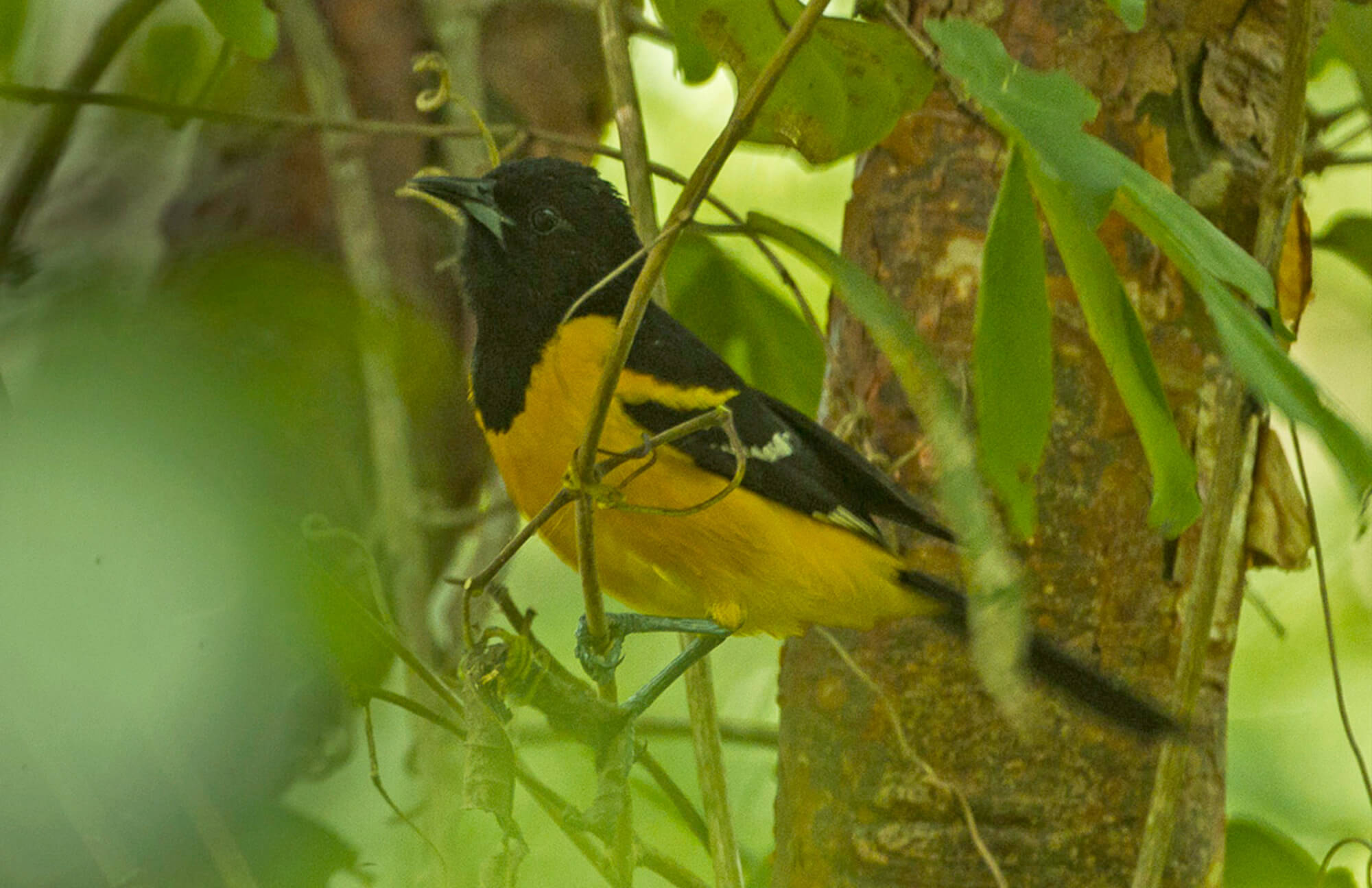 Bar-winged Oriole | Chiapas Birding Tour