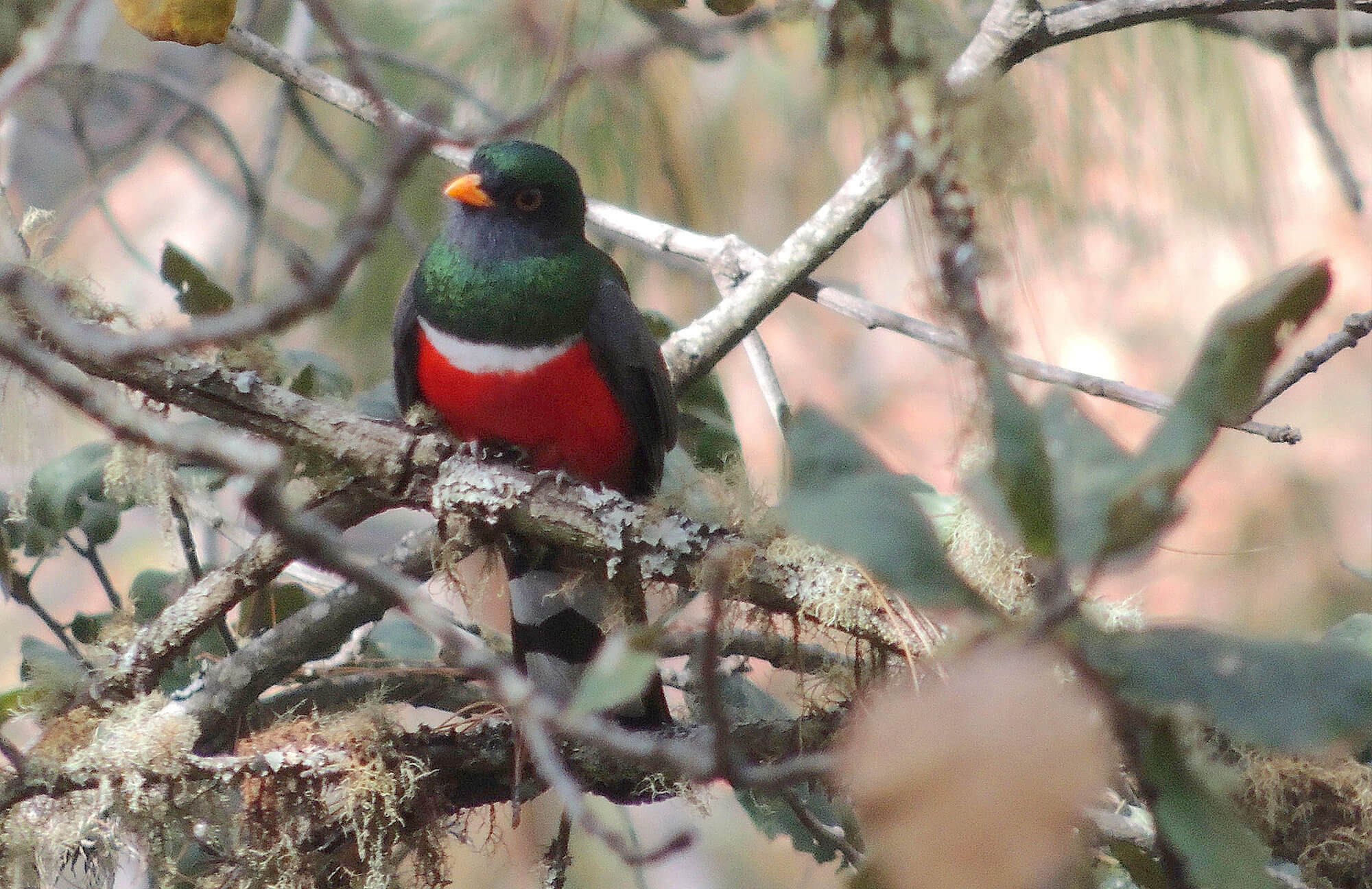 Mountain Trogon | Chiapas Birding Tour