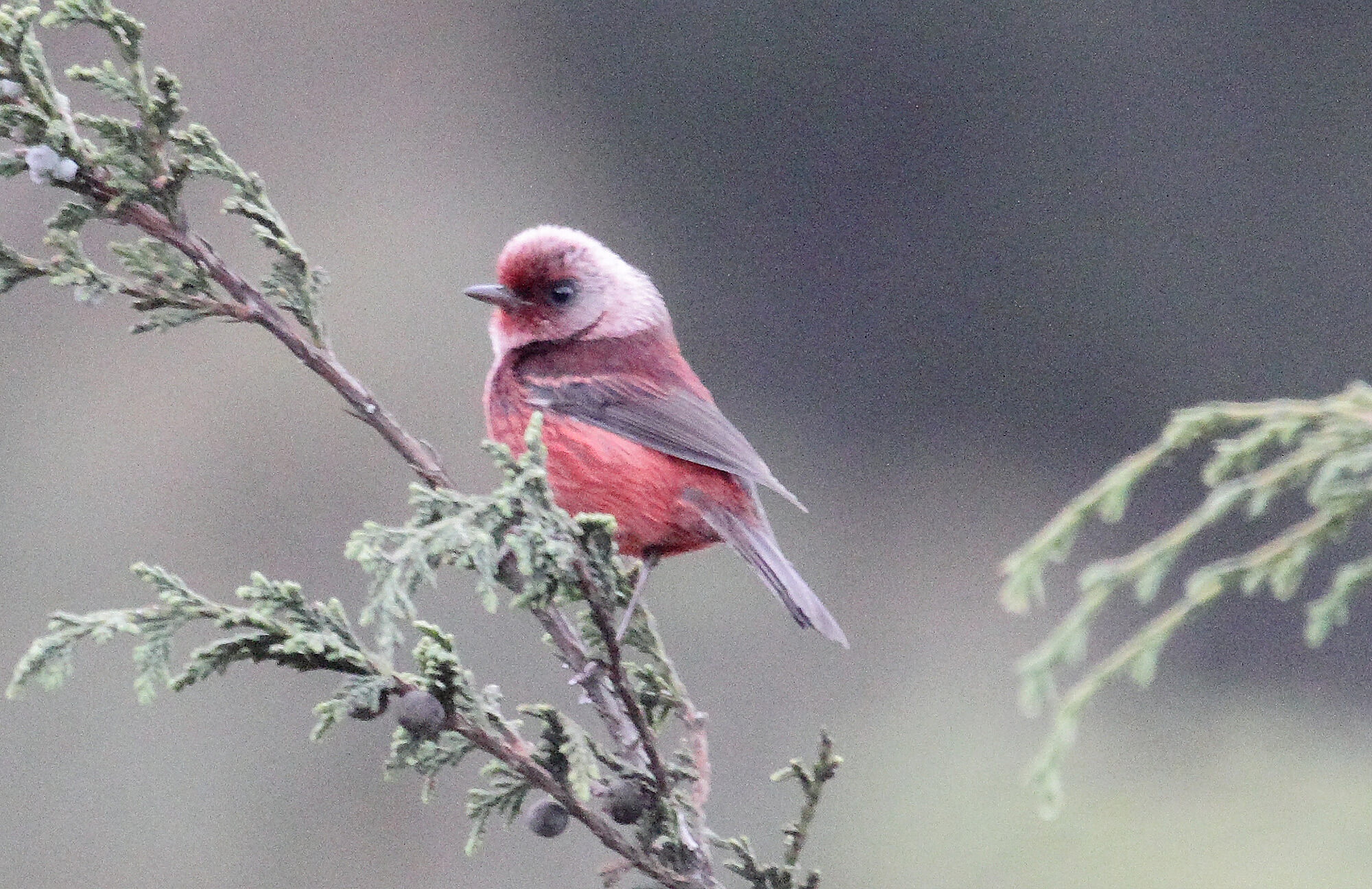 Pink-headed Warbler | Chiapas Birding Tour