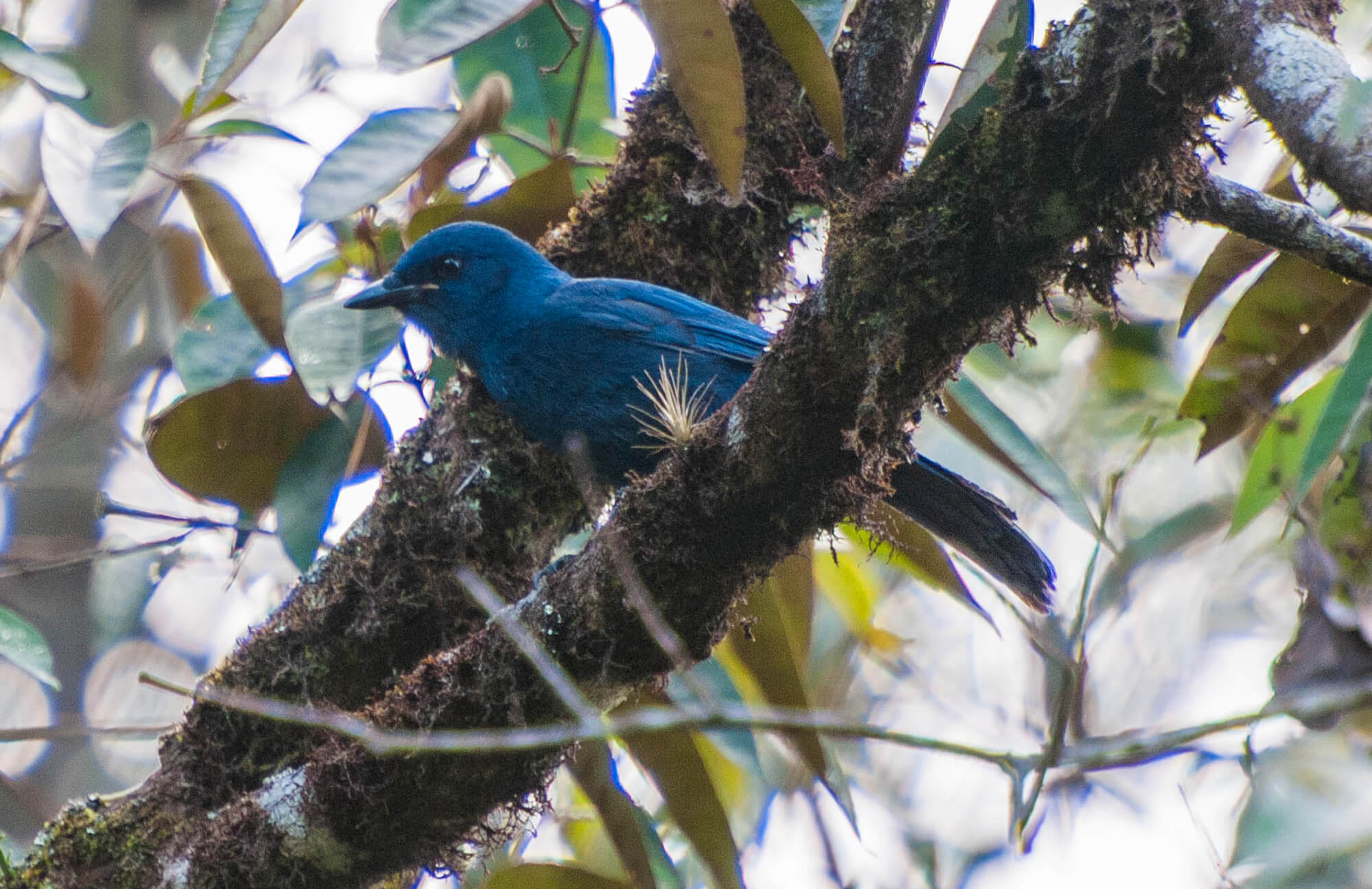 Unicolored Jay | Chiapas Birding Tour
