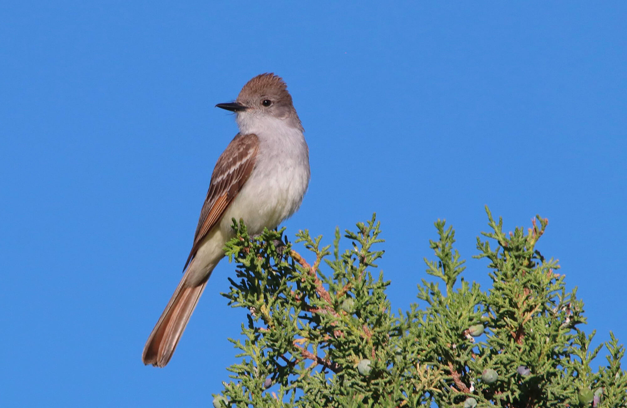 Ash-throated Flycatcher | Sage & Juniper Specialists Tour