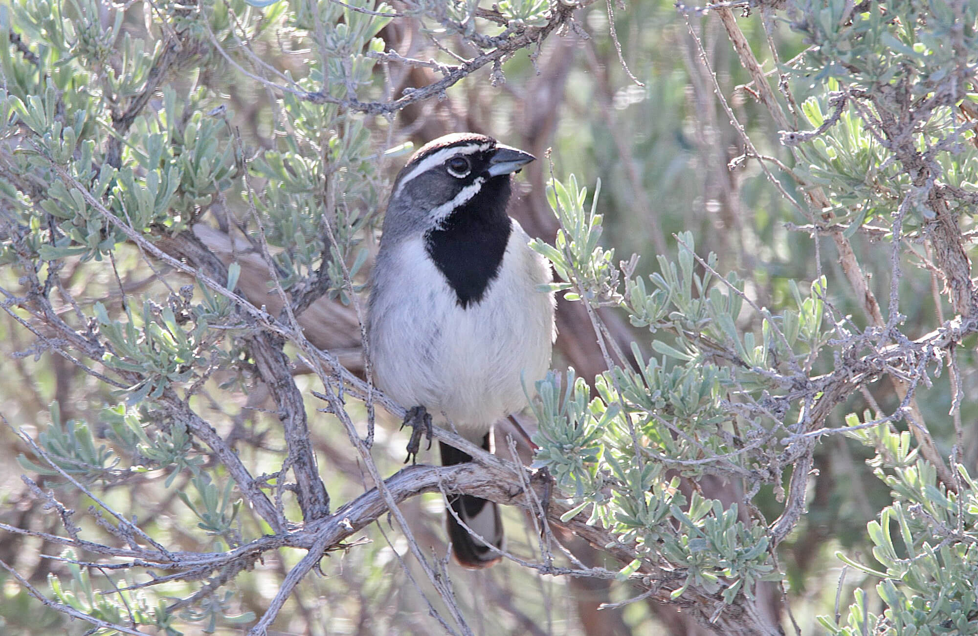 Black-throated Sparrow | Sage & Juniper Specialists Tour