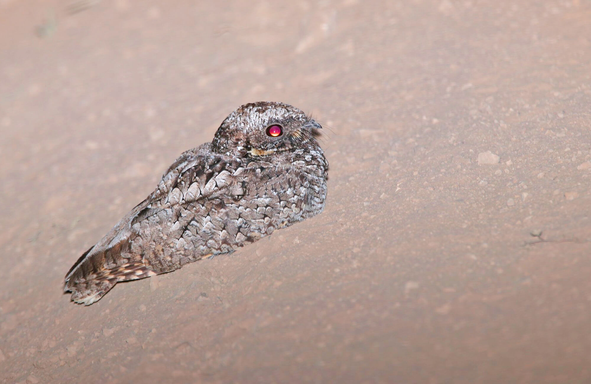 Common Poorwill | Best of Utah