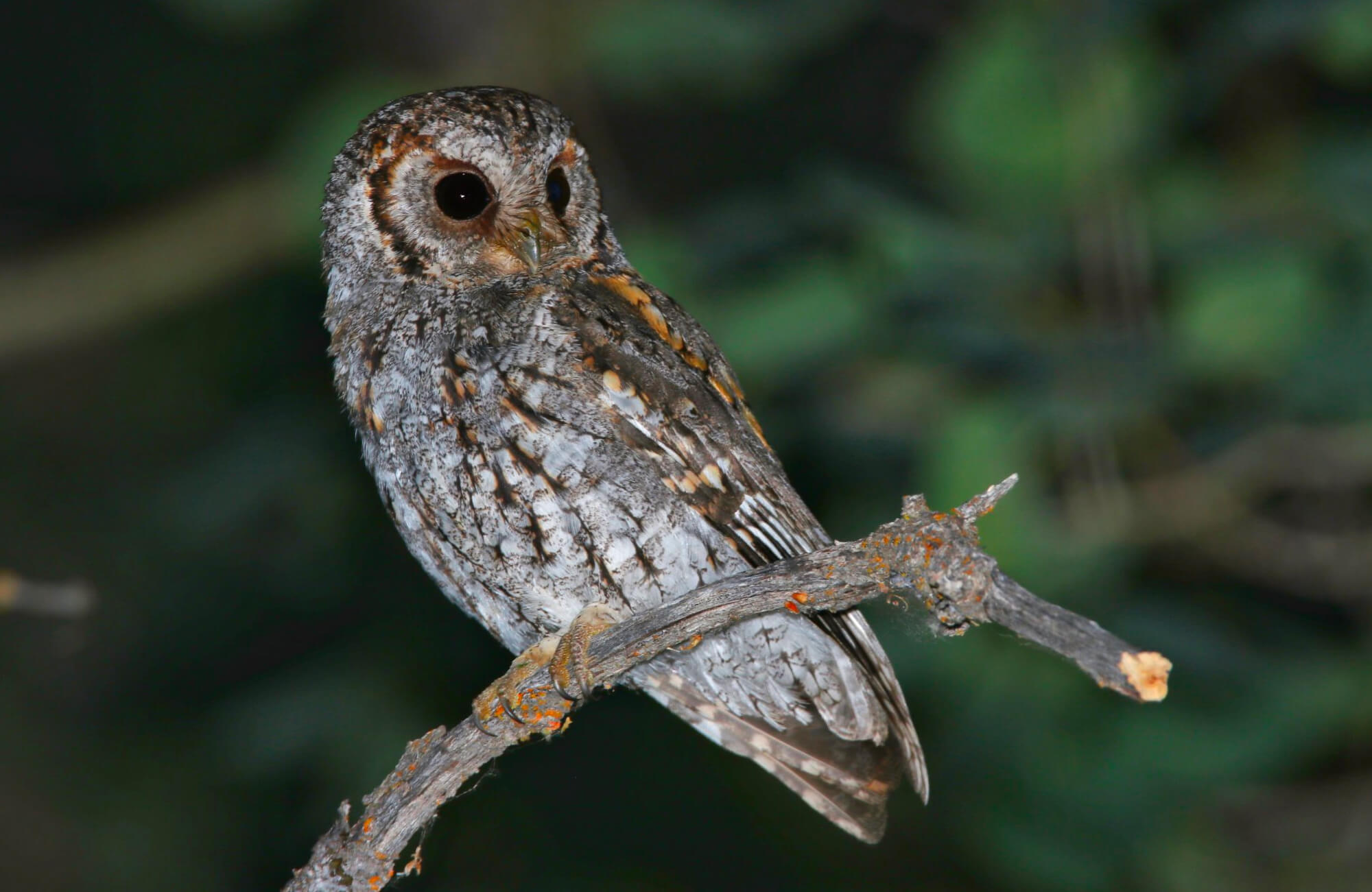 Flammulated Owl | Flammulated Owling