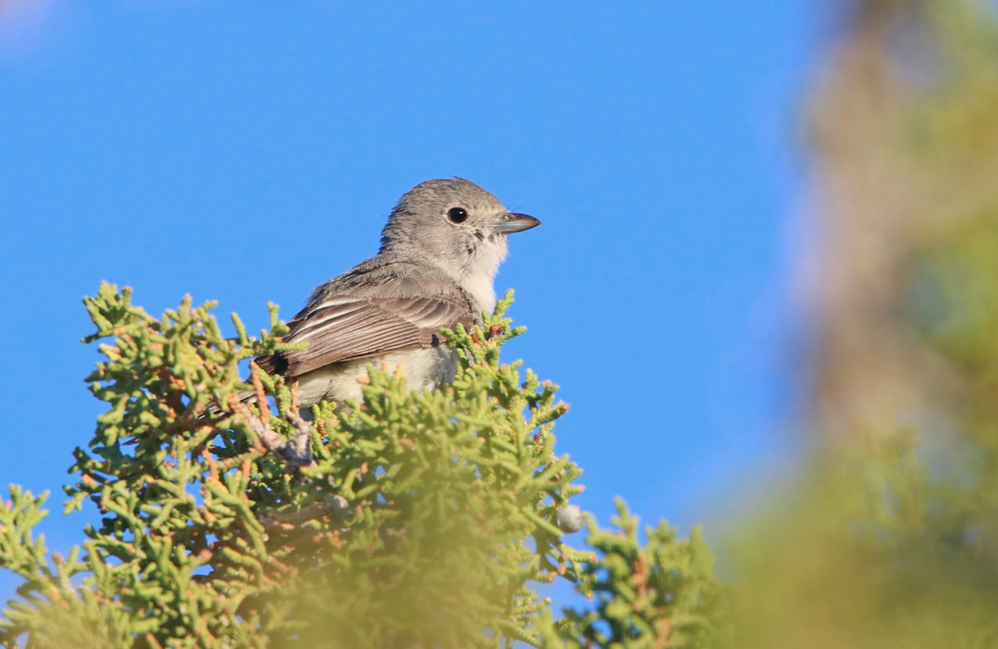 Gray Vireo | Sage & Juniper Specialists